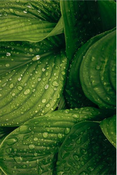 Plantain for skincare