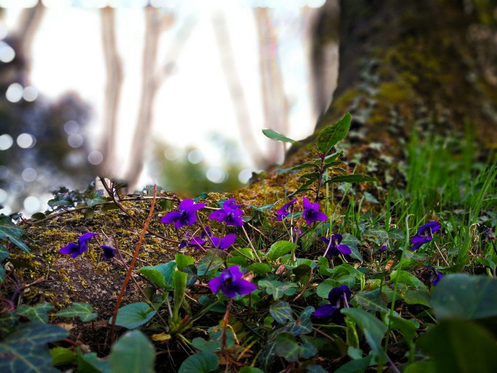 Violets for skincare
